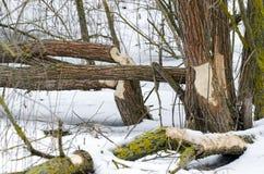 Сгрызенный с деревьев стоковая фотография