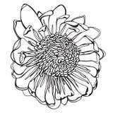 Сделанная эскиз к нарисованная рукой иллюстрация вектора цветка protea Стоковые Фотографии RF