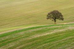 Сделанное насечку поле с уединённым дубом Стоковые Фото