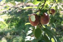 сдержанное яблоко Стоковое фото RF