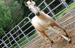 сдерживание ограждая лошадь стоковая фотография rf