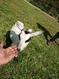 Сдерживая коза стоковые фото