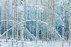 Сдобренные белые березы в снежном лесе стоковое изображение