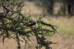 Северная белизна увенчала shrike сидя на ветви дерева стоковые изображения