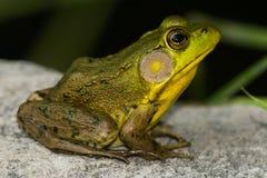 Северная зеленая лягушка стоковое изображение rf
