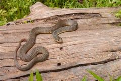 Северная змейка воды (sipedon Nerodia) Стоковое Изображение