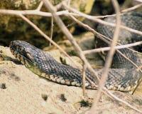 Северная змейка Cottonmouth Стоковое Изображение RF