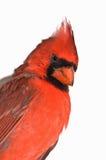 северная изолированная cardinal Стоковое фото RF