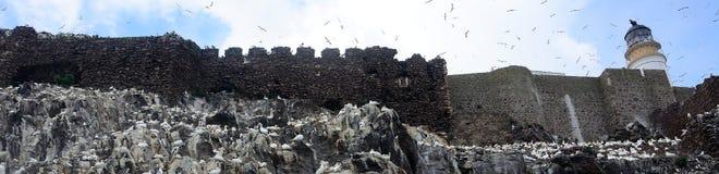 Северная колония вокруг маяка, басовый утес gannet, Scotlan Стоковая Фотография RF