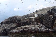 Северная колония вокруг маяка, басовый утес gannet, Scotlan Стоковые Изображения RF