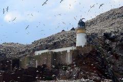 Северная колония вокруг маяка, басовый утес gannet, Scotlan Стоковое фото RF