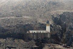 Северная колония вокруг маяка, басовый утес gannet, Scotlan Стоковые Фотографии RF