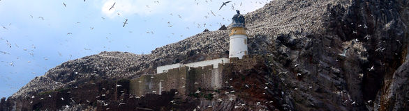 Северная колония вокруг маяка, басовый утес gannet, Scotlan Стоковые Фото