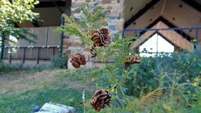Северная колючка Техаса weedplant стоковое изображение rf