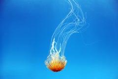 Северная крапива моря Стоковое Изображение