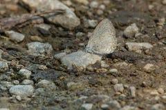 Северная лазурная бабочка стоковое фото rf