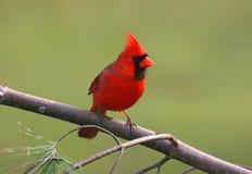 северная птицы кардинальная мыжская стоковая фотография rf