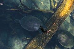 Северная черепаха водяной черепахи реки вызвала baska Batagur Стоковые Изображения RF