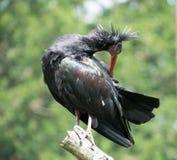 северная ibis облыселого geronticus eremita латинская названная Стоковые Изображения RF