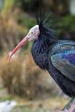 северная ibis облыселого geronticus eremita латинская названная Стоковые Фотографии RF