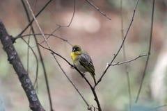 Северное замаскированное taeniopterus Ploceus птицы ткача Стоковые Фотографии RF