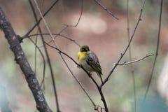 Северное замаскированное taeniopterus Ploceus птицы ткача Стоковое фото RF