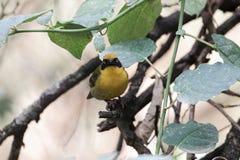 Северное замаскированное taeniopterus Ploceus птицы ткача Стоковое Фото