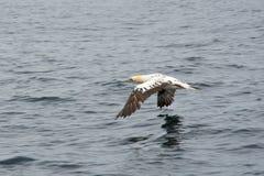 Северное летание bassanus Morus gannet стоковая фотография