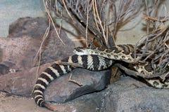Северное Тихое океан oreganus Crotalus Rattlesnake Стоковое фото RF