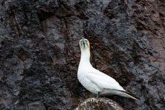 Северное bassanus Morus gannet на басовом утесе Стоковая Фотография RF