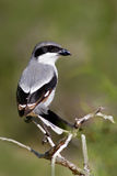 Северное excubitor Shrike, Lanius, gey и черная птица сидя на ветви Красивая птица сидя на ветви Shrike в natur стоковое фото