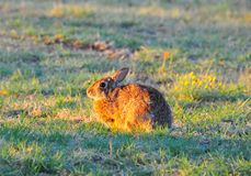 Северное floridanus Sylvilagus кролика восточного Cottontail Техаса стоковое изображение rf