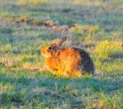 Северное floridanus Sylvilagus кролика восточного Cottontail Техаса стоковое фото