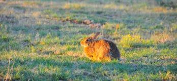 Северное floridanus Sylvilagus кролика восточного Cottontail Техаса стоковое изображение