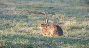 Северное floridanus Sylvilagus кролика восточного Cottontail Техаса стоковые изображения