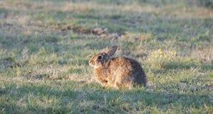 Северное floridanus Sylvilagus кролика восточного Cottontail Техаса стоковое фото rf