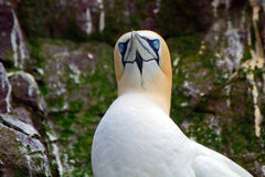 Северное gannet, басовый утес, Шотландия Стоковые Фотографии RF