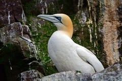 Северное gannet, басовый утес, Шотландия Стоковая Фотография RF