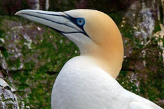 Северное gannet, басовый утес, Шотландия Стоковое фото RF