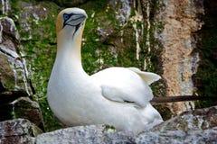 Северное gannet, басовый утес, Шотландия Стоковое Изображение RF