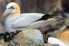 Северное gannet, басовый утес, Шотландия Стоковые Изображения RF