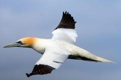 Северное gannet, басовый утес, Шотландия Стоковые Изображения