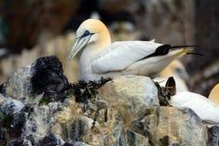 Северное gannet, басовый утес, Шотландия Стоковое Изображение