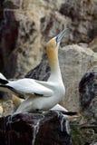 Северное gannet, басовый утес, Шотландия Стоковая Фотография