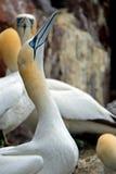 Северное gannet, басовый утес, Шотландия Стоковые Фото