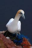 Северное Gannet в гнезде с белым яичком Птицы моря на утесе побережья Красивейшие птицы в влюбленности Пары животных на острове H Стоковая Фотография