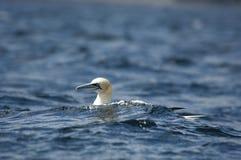 Северное gannet имеет полезного время работы стоковые изображения rf