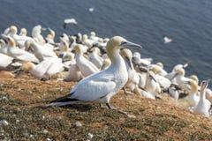 Северное Gannet на островах Helgoland стоковое фото