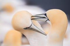 Северное gannet, птицы в влюбленности Стоковое Фото