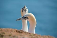 Северное gannet, птицы в влюбленности Стоковое Изображение